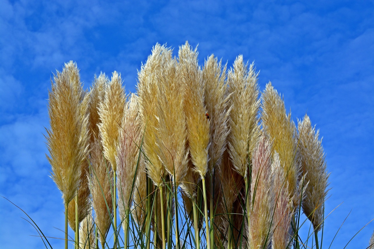 Importschlager Aus Sudamerika Pampasgras Zur Gartenverschonerung