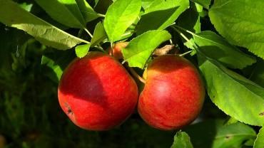 akb-apfel-frucht