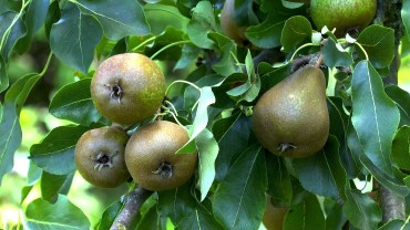 akb-birne-frucht
