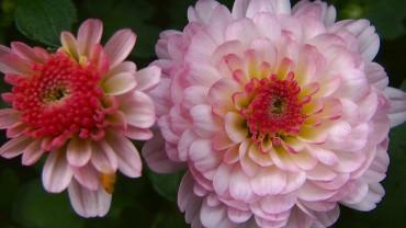 akb-chrysantheme-bluete-rose-gefuellt
