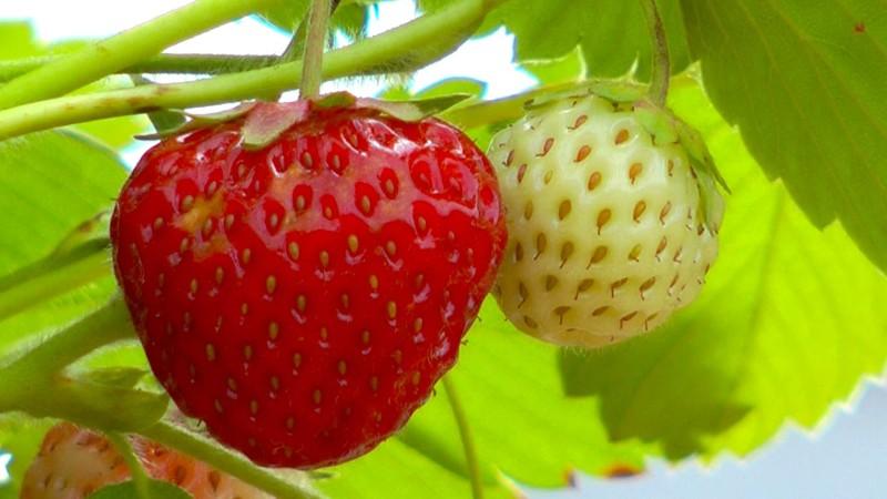 akb-erdbeere-frucht-scheinbeere