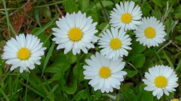 akb-gaensebluemchen