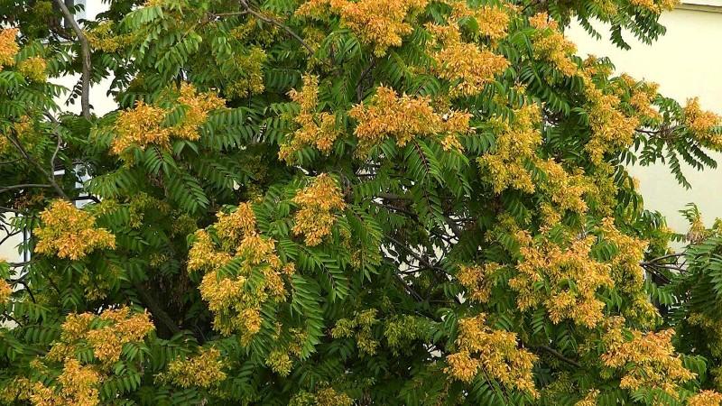 akb-goetterbaum-fruchtbildung