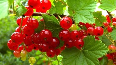 akb-johannisbeere-frucht