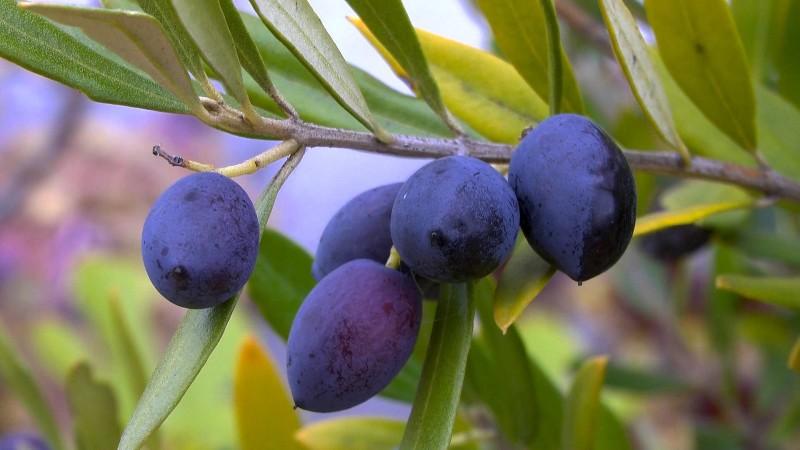akb-olive