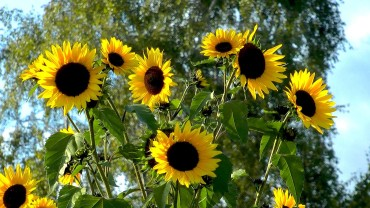 Artikelbild Sonnenblume