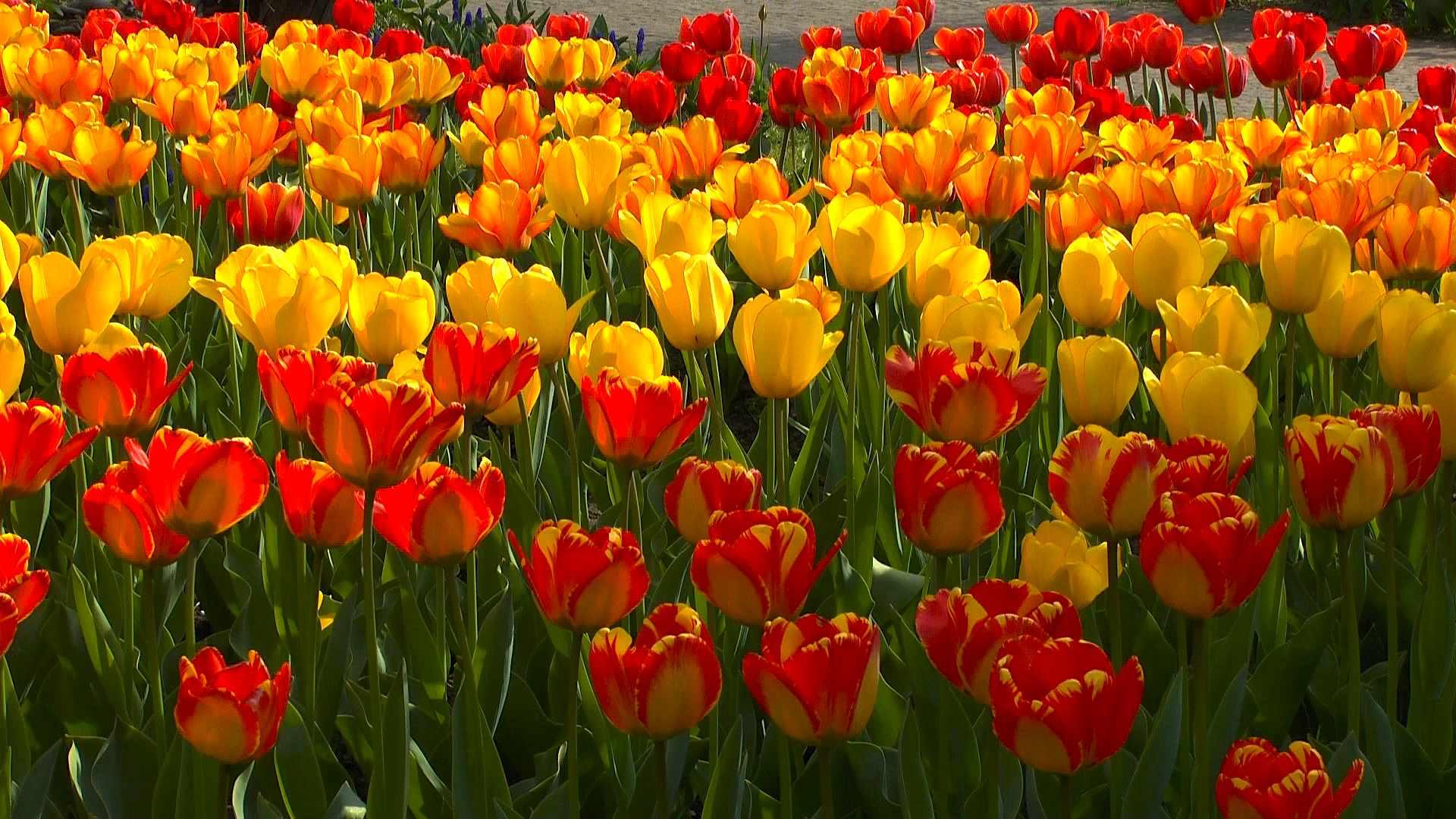 Tulpen Düngen
