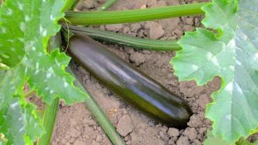 akb-zucchini-feld