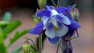 akelei-blauweiss