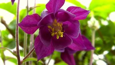 akelei-violett