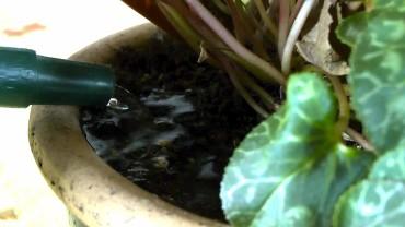 Beim gießen darauf achten, dass nicht auf die Knolle gegossen wird, da sonst die frischen Triebe leiden.