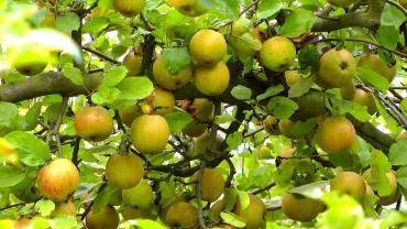 apfel-frucht-gelb