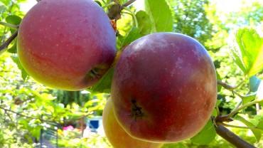 apfel-frucht-nah