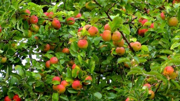 apfel-frucht-reif