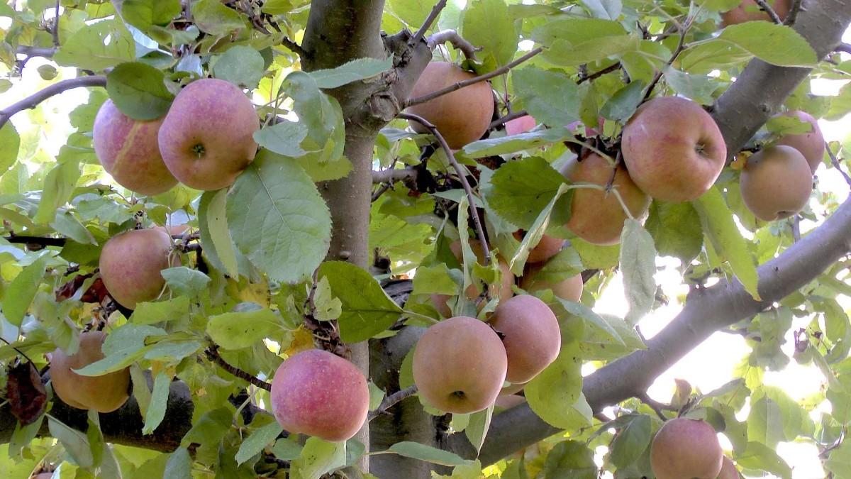 Apfel Bildergalerie