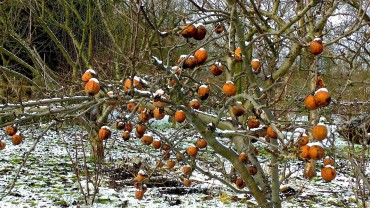 apfel-winter