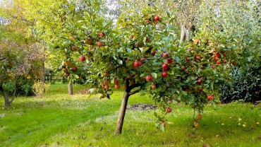 apfelbaum-klein