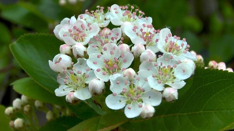 Aronia / Apfelbeere - GartenNatur
