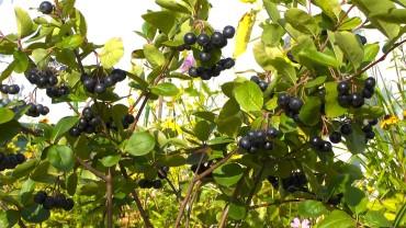 aronia-apfelbeere-frucht-balkon