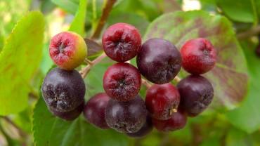 aronia-apfelbeere-fruchtfaerbung