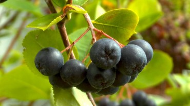 aronia-frucht-apfelfrucht