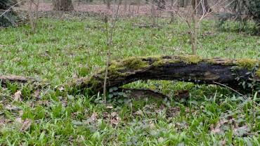 baerlauch-horst-plaenterwald