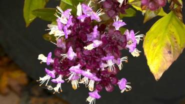 basilikum-bluete-violett