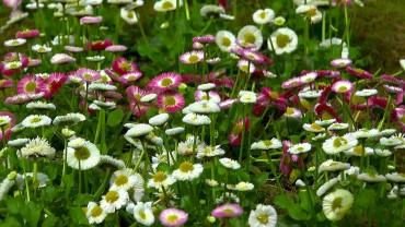 bellis-garten-gaensebluemchen