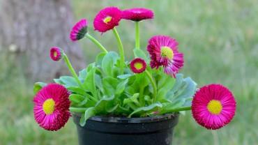 bellis-topf-handel-gaensebluemchen
