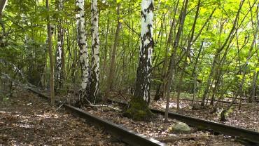 birke-pionierpflanze