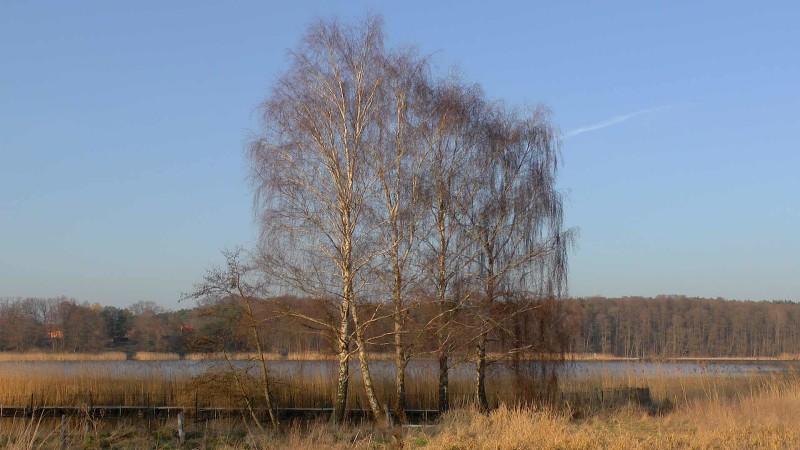 birken-winter-kahl