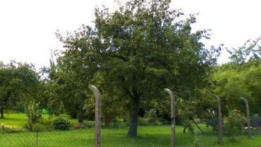 birnbaum-garten