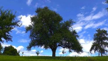 birne-alter-birnbaum