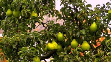 birne-frucht