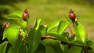 birne-fruchtbildung