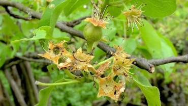 birne-verblueht-fruchtbildung