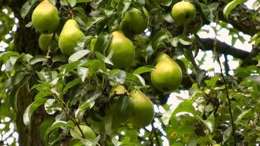 birnen-frucht