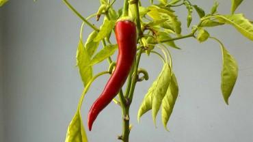 chili-schote-reif