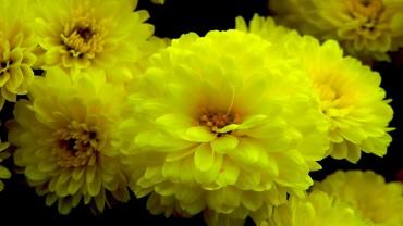 chrysantheme Bluete-gelb-gefuellt