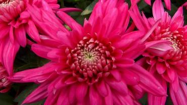 chrysantheme-bluete-rot-gefuellt