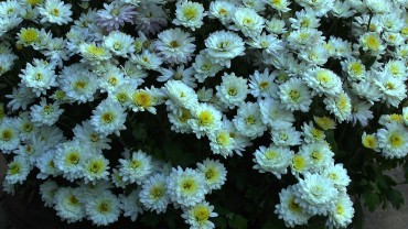 chrysantheme-herbstaster-weiss