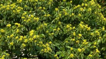 edelkastanie-esskastanie-fruchtbildung