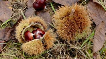 edelkastanie-esskastanie-nuss-fruchtbecher