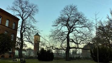 edelkastanie-esskastanie-winter