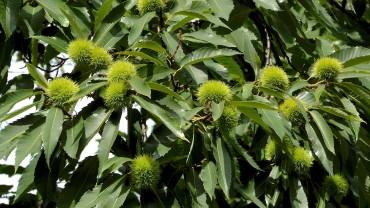 edelkastaniee-esskastanie-fruchtbecher