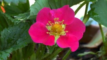 erdbeere-bluete-rosa-toscana-f1