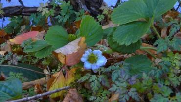 erdbeere-bluete-winter