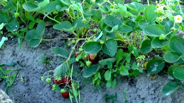 erdbeere-ernte
