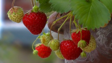 erdbeere-fruechte