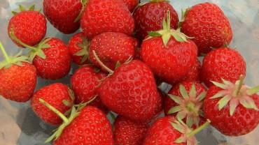 erdbeere-pfluecken-ernten